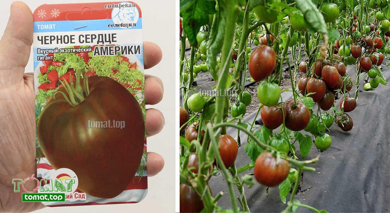 Характеристика и описание сорта томата санрайз его урожайность