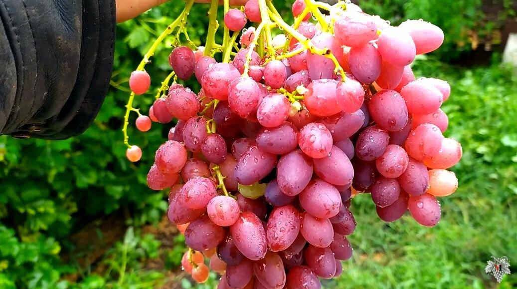 Вырастить виноград из семян? почему бы и нет! на supersadovnik.ru