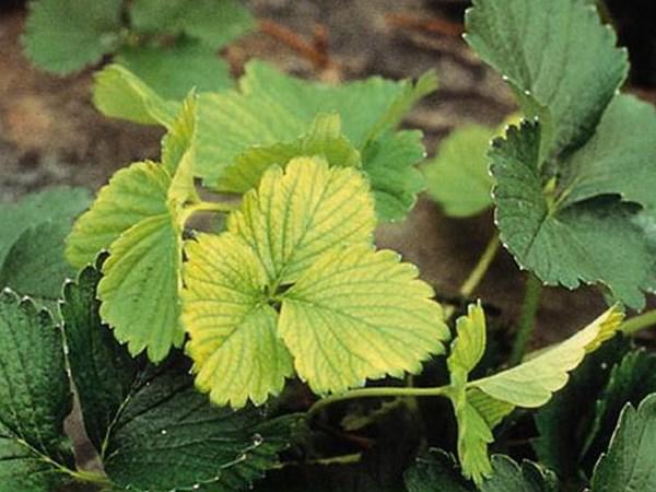 Земляничный клещ: что делать, если листья клубники скручиваются и сохнут? советы профессионала