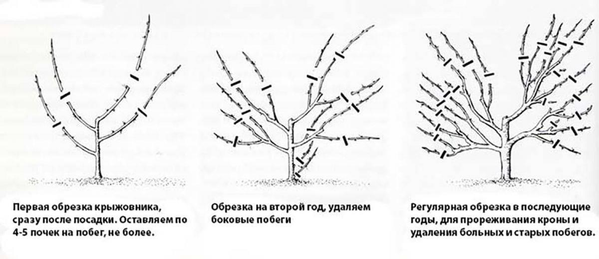 Как и когда обрезать крыжовник весной: правила, сроки, схемы и инструкции для начинающих