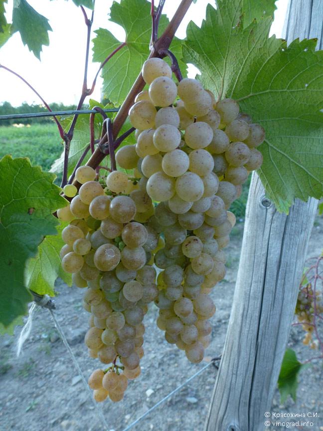 Сорт винограда «ркацители» — описание сорта, полезные свойства, вред