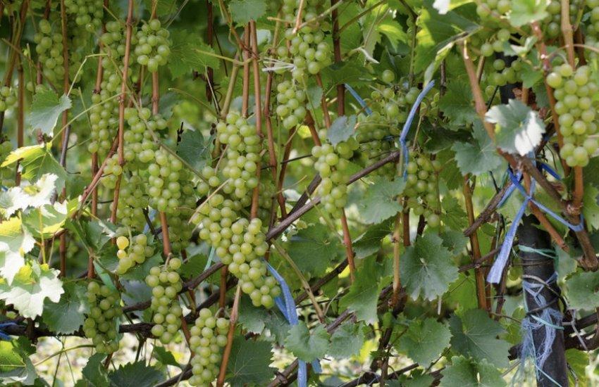 Сорт винограда бианка: характеристика, секреты выращивания - всёпродачу