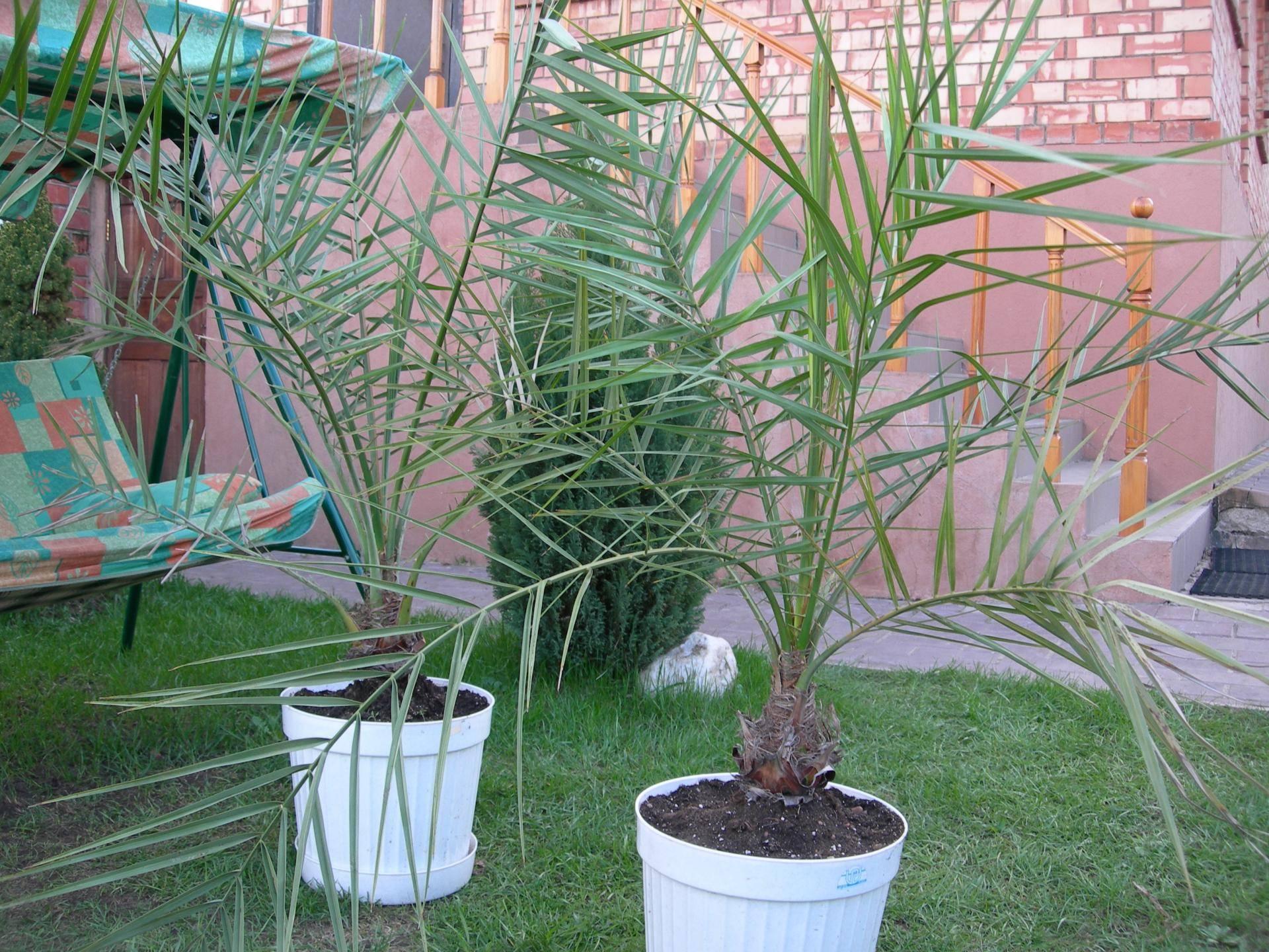 Финиковая пальма: особенности выращивания из косточки в домашних условиях, пересадка и уход | (50 фото) +отзывы