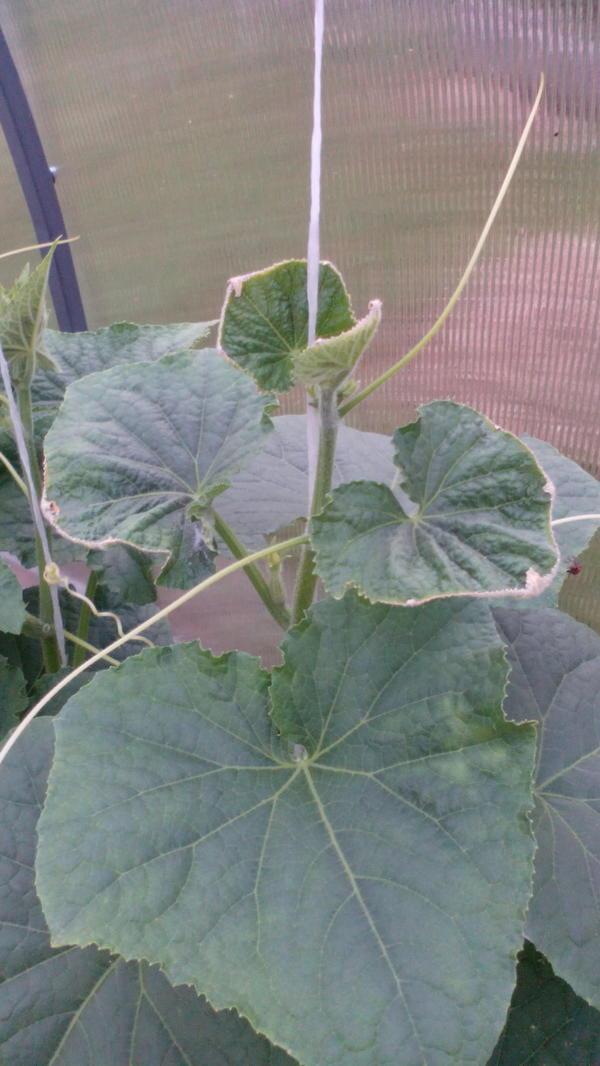 Почему вянут листья у огурцов в теплице и на открытом грунте: что делать и чем бороться с болезнями и вредителями (115 фото)