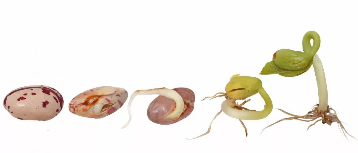 Как прорастить семена фасоли дома?