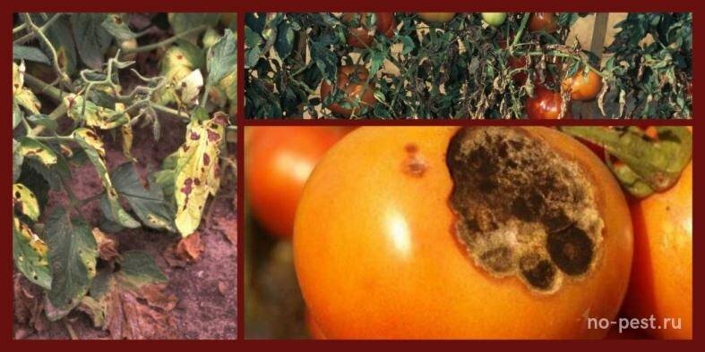Как определить болезни на рассаде томатов в теплице: «птичий глаз», «серая гниль» и пятнистость