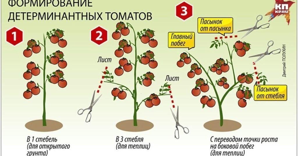 10 лучших сортов низкорослых томатов