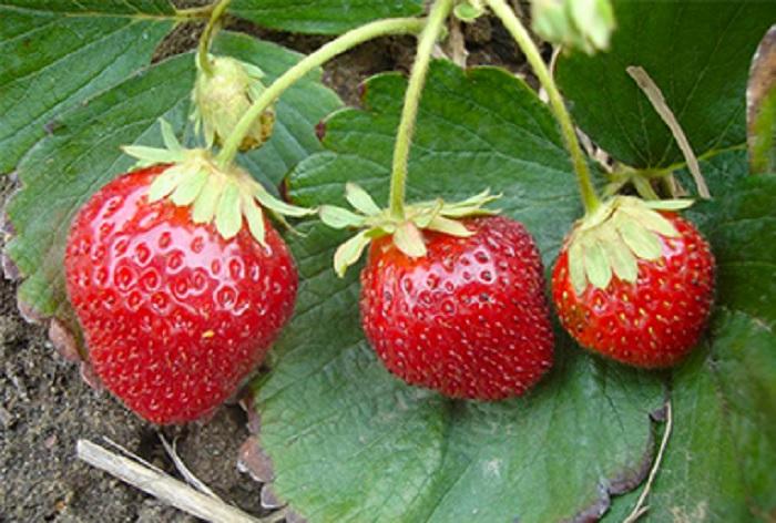 Клубника мара де буа: описание и характеристика сорта, выращивание и уход в домашних условиях, фото