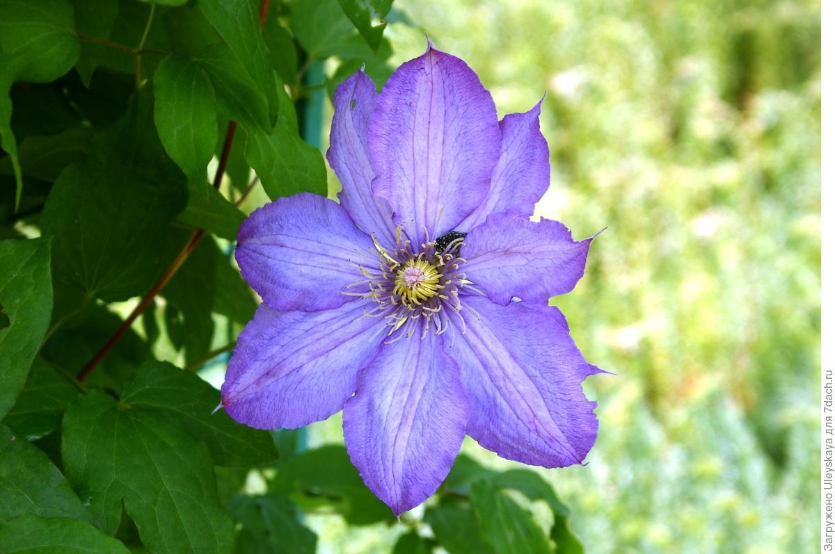 Клематисы - 88 фото самого красивого цветка из семейства лютиковых