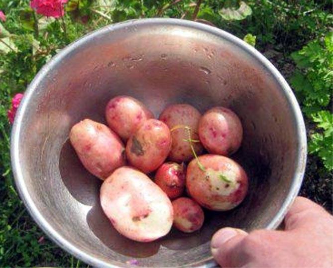 Картофель жуковский: фото, подробная характеристика этого раннего семенного сорта картошки, а также описание особенностей посадки, ухода и сбора урожая