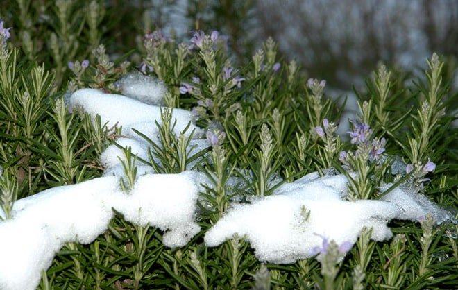 Как укрыть розмарин на зиму, подготовительные мероприятия, сорта, не требующие защиты и сроки пересадки в горшки