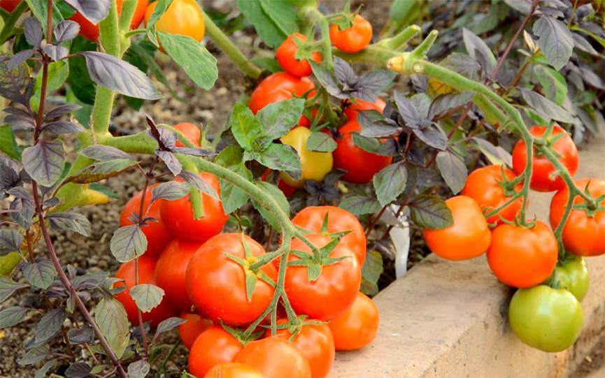 Томат санька: отзывы (фото), урожайность, характеристика и отзывы