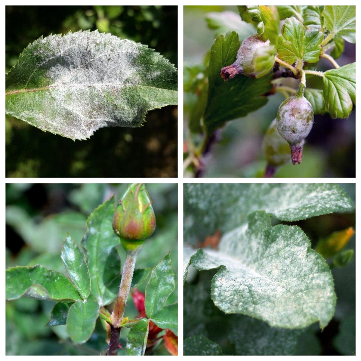 Мучнистая роса на розах – как защитить любимые цветы