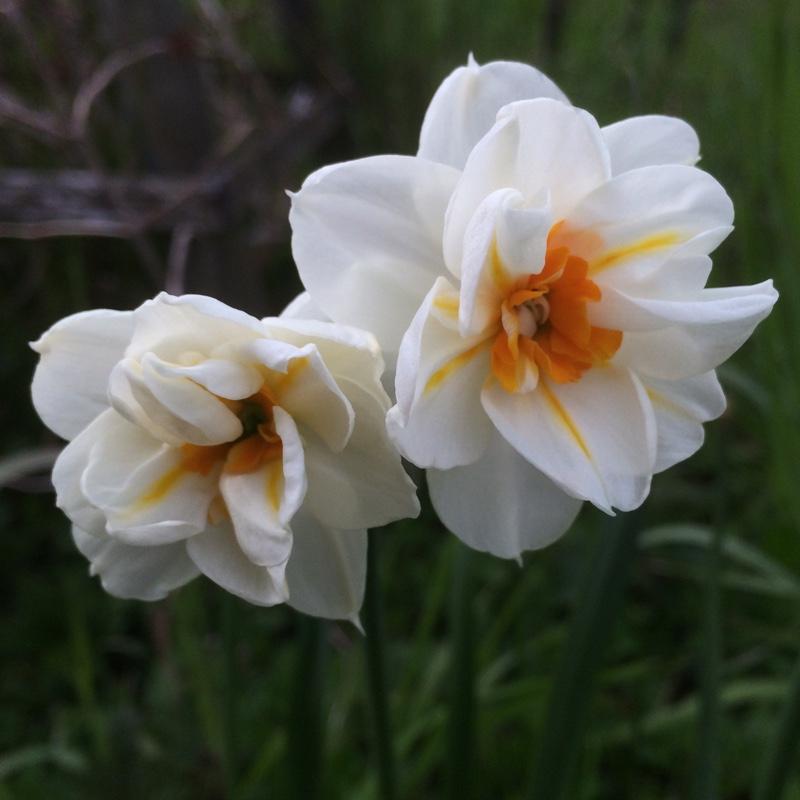 Описание и нюансы выращивания нарциссов сорта калгари