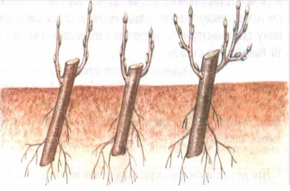 Как размножить черешню