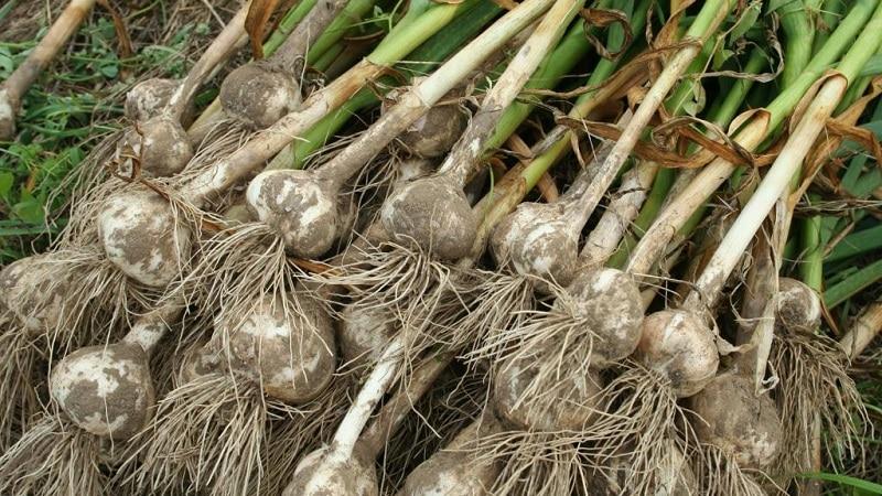 Сбор урожая чеснока: когда и как правильно?