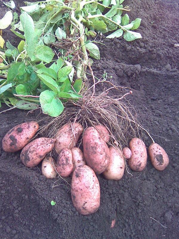 Сорт картофеля лорх, описание, характеристика и отзывы, а также особенности выращивания