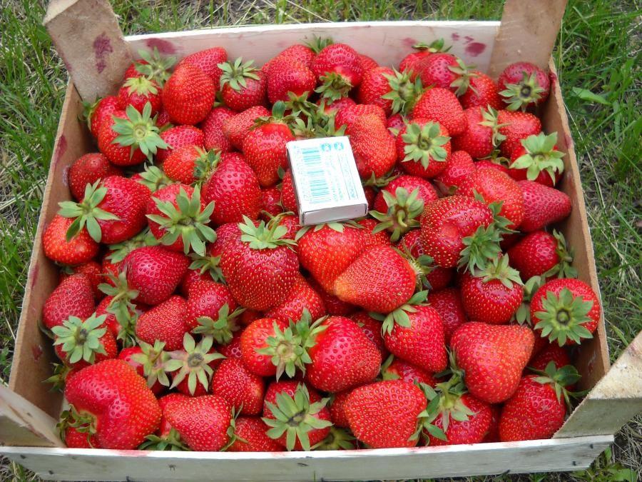 Клубника клери: описание сорта, характеристика, выращивание и агротехника, видео и фото