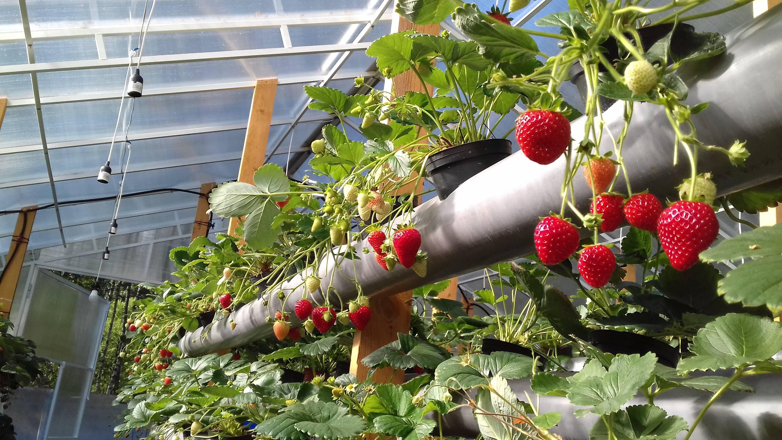 Выращивание клубники в теплице круглый год: технология и методы