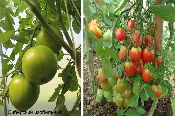 Описание и характеристика томата Сибирский изобильный, выращивание сорта