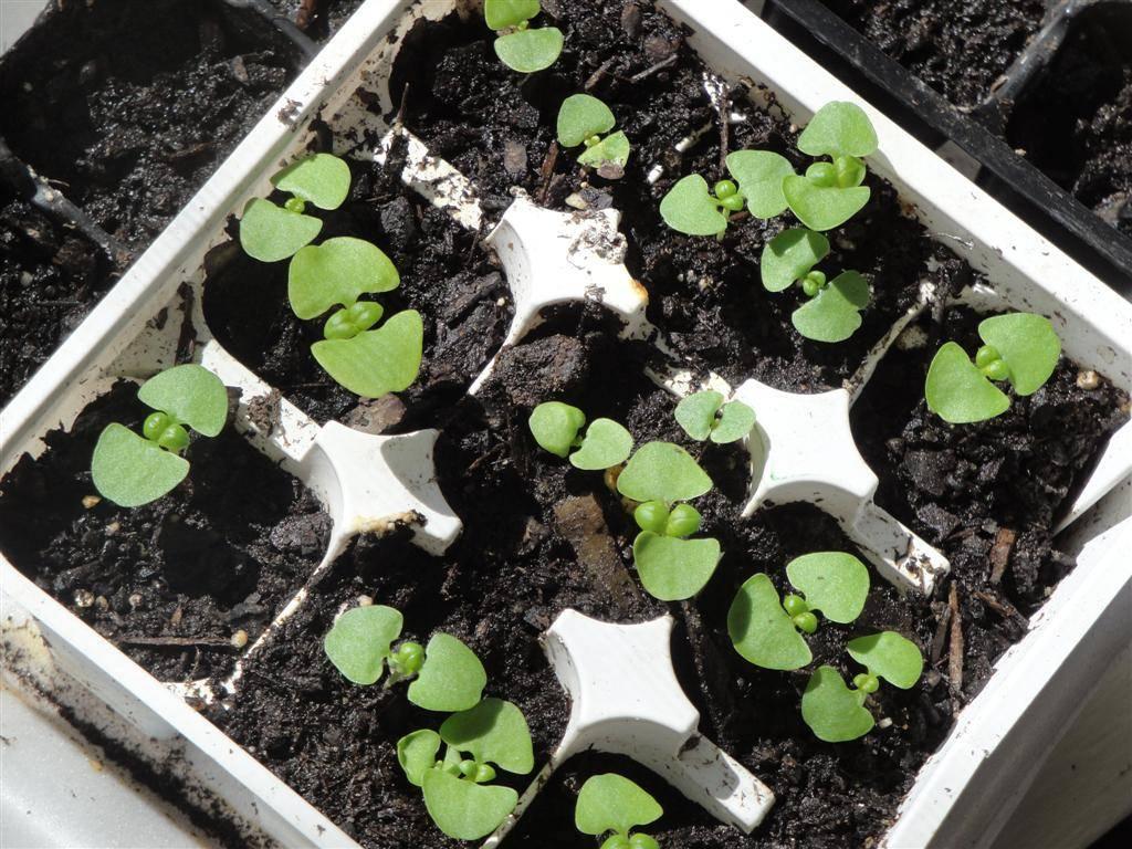 Как вырастить базилик на подоконнике: подготовка семян, посев, уход