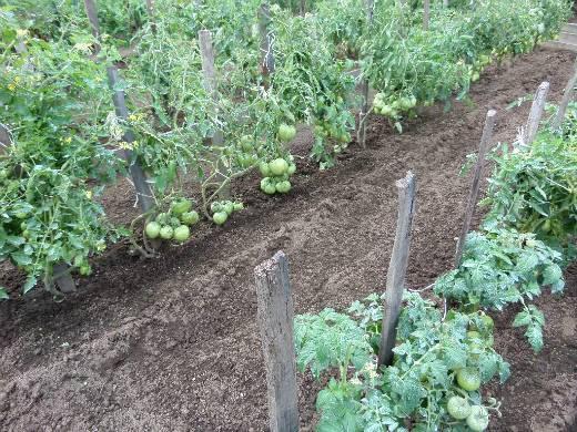 Томат энерго f1 — описание сорта, фото, урожайность и отзывы садоводов