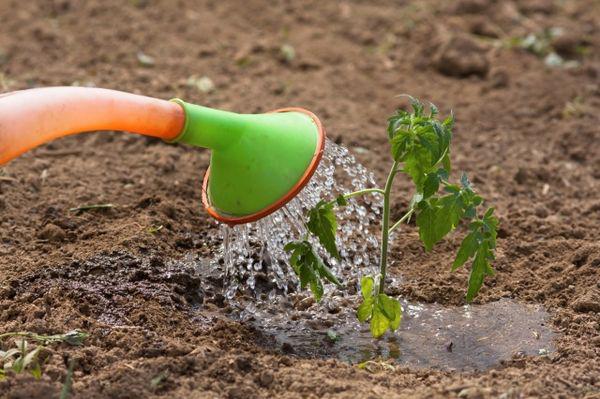 Полив тыквы в открытом грунте: топ правила орошения с видео