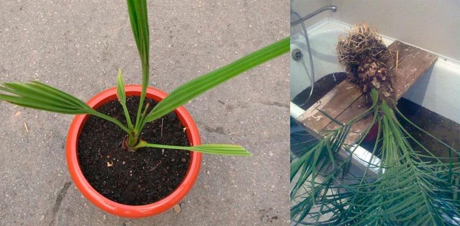 Финиковая пальма из косточки в домашних условиях: как вырастить и ухаживать? - sadovnikam.ru