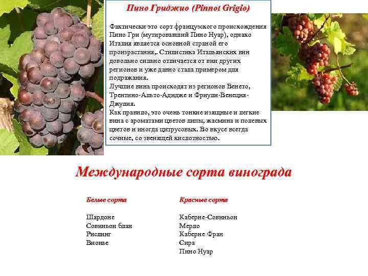 Пино гри сорт винограда