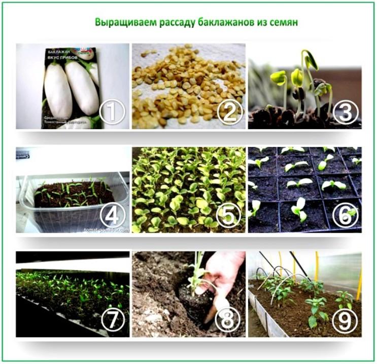 Баклажаны: предпосевная подготовка семян и посев на рассаду пошагово