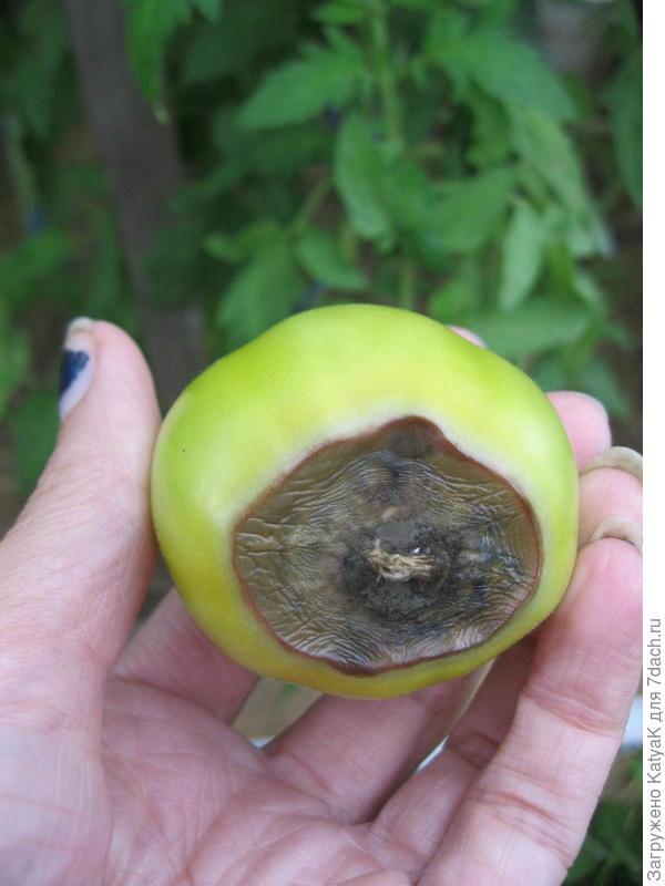 Серая гниль томатов в теплице: фото и их лечение народными средствами, и не только
