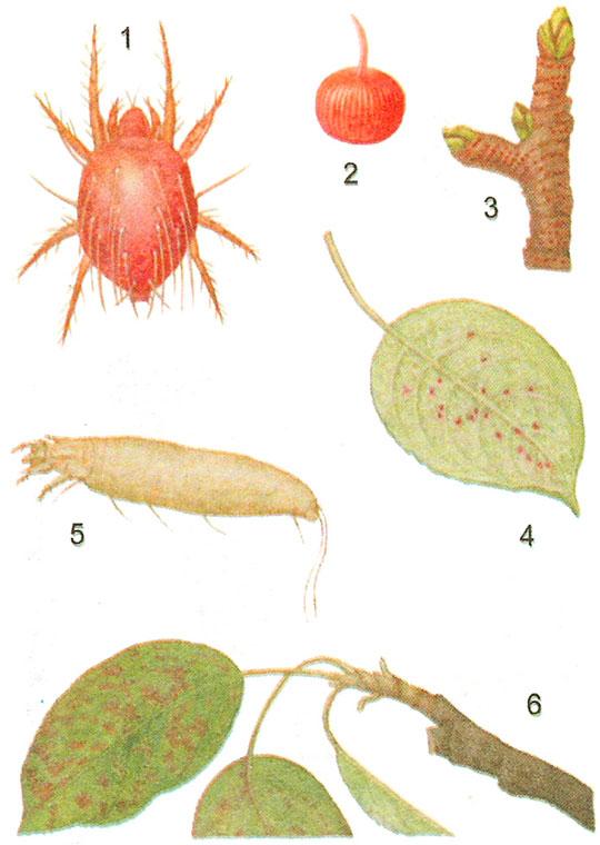 Меры борьбы с галловым клещом на груше, признаки и причины появления болезни