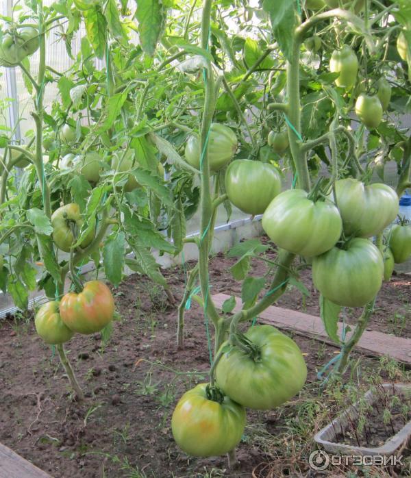 Особенности сорта и тонкости агротехники высокоурожайного томата батяня