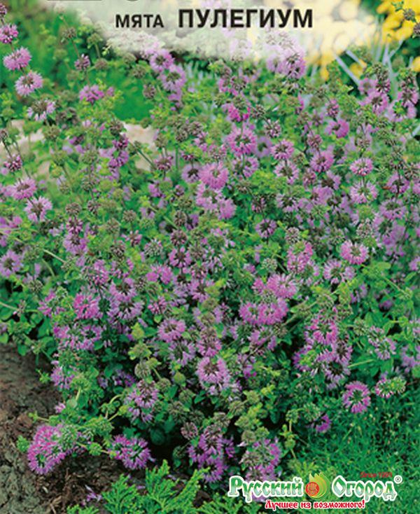 Мята болотная — описание сорта, выращивание и отзывы