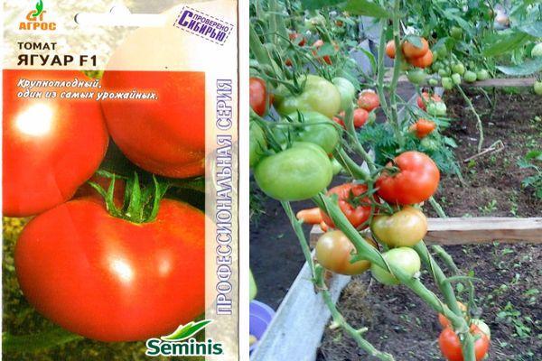 Описание томата Ягуар и правила выращивания рассады