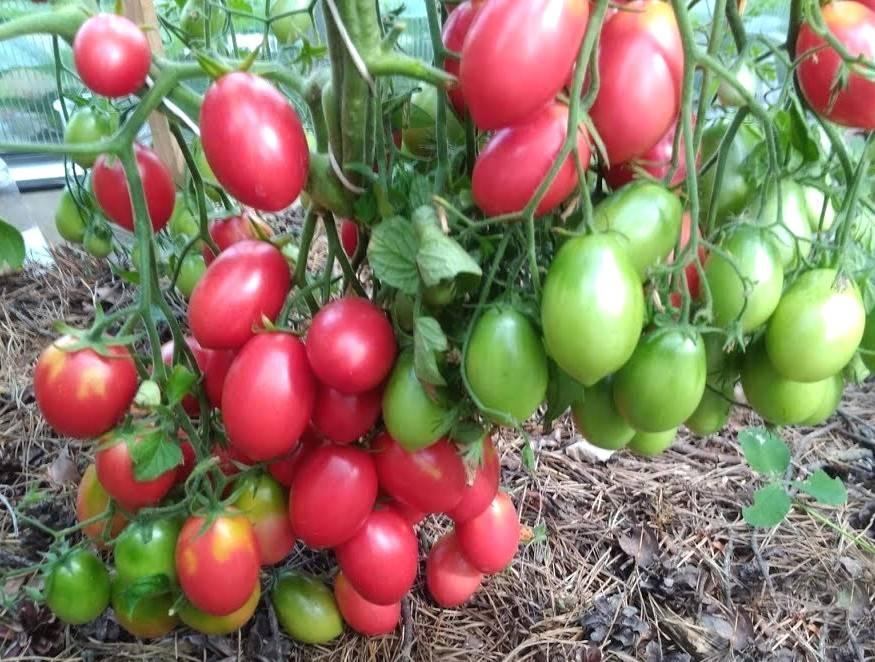 Томат красная гроздь — характеристика и описание сорта