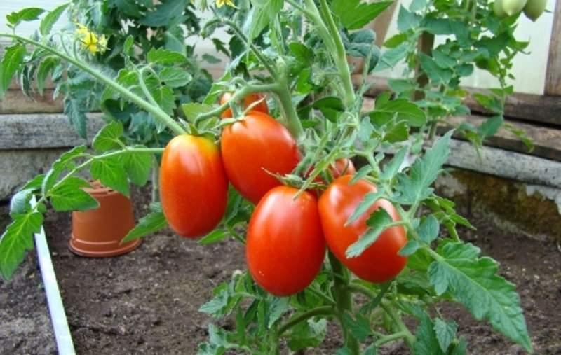 Описание сорта томата Каспар, его характеристика и урожайность