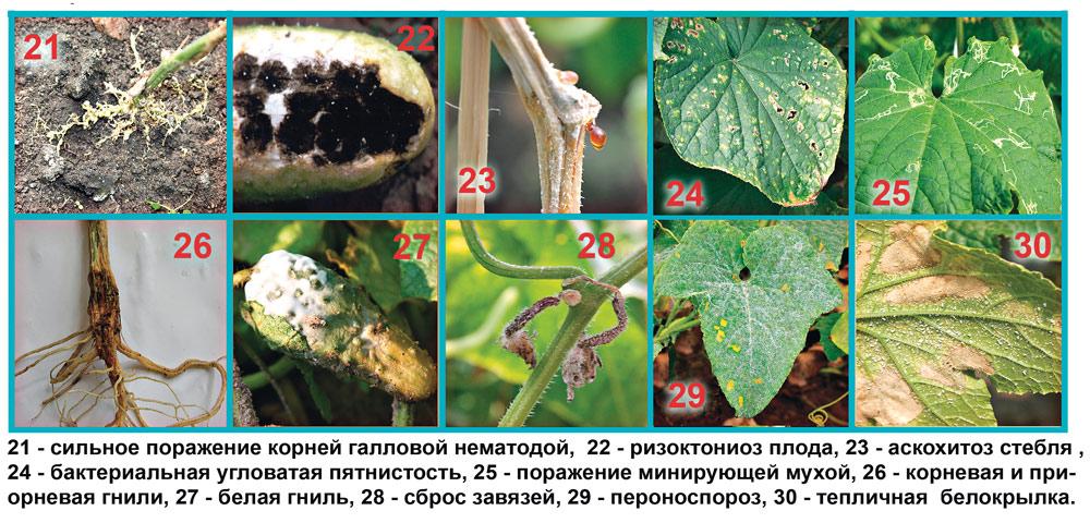 Кто-то ест рассаду огурцов в теплице: виды вредителей, способы защиты