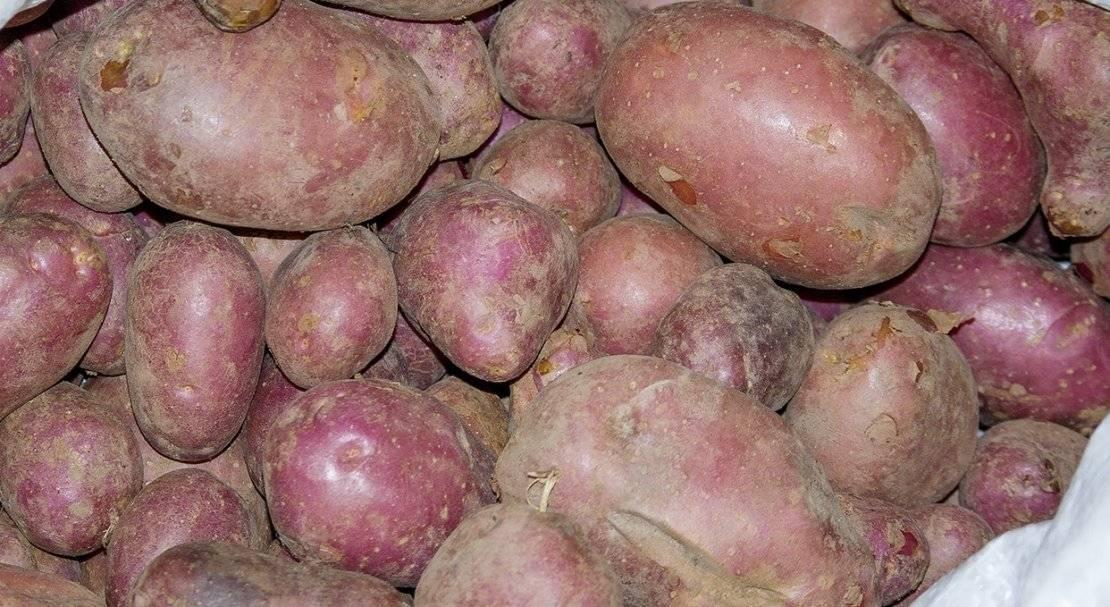 Картофель журавинка: характеристика и описание сорта, фото, отзывы