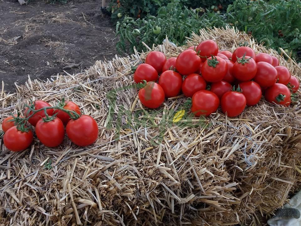 Сорт томата тивай 12 (f1): фото, отзывы, описание, характеристики.