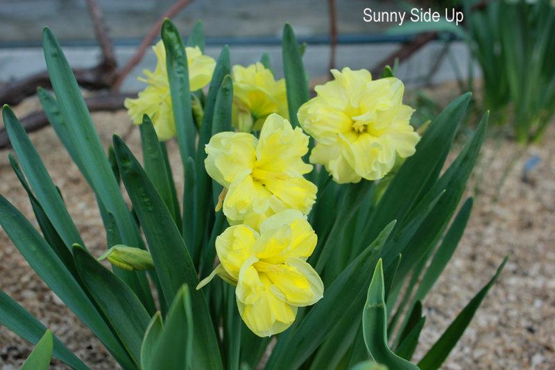 Нарцисс бридал краун: описание сорта и характеристики, посадка и уход
