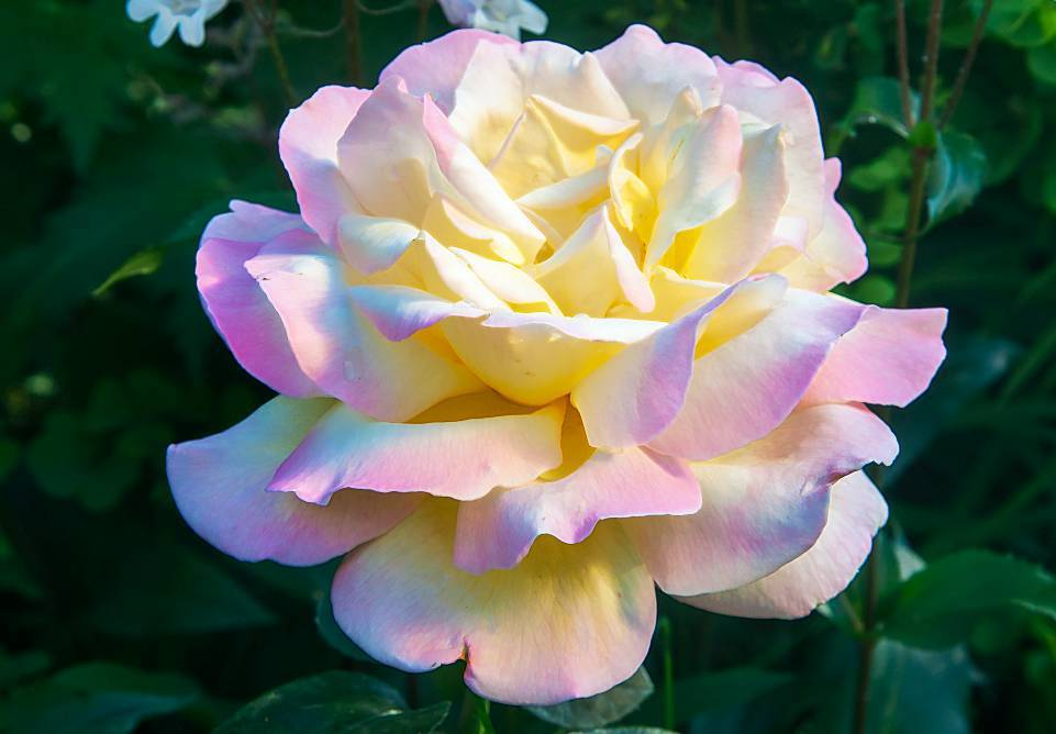 Описание и характеристики розы сорта Глория Дей, правила посадки и ухода