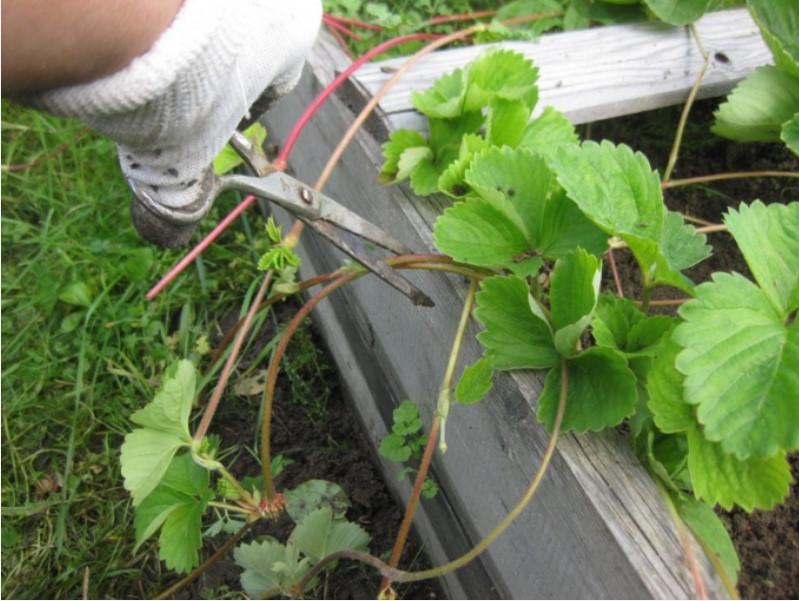 Как рассадить клубнику усами летом, когда рассаживать, правила посадки как рассадить клубнику усами летом, когда рассаживать, правила посадки