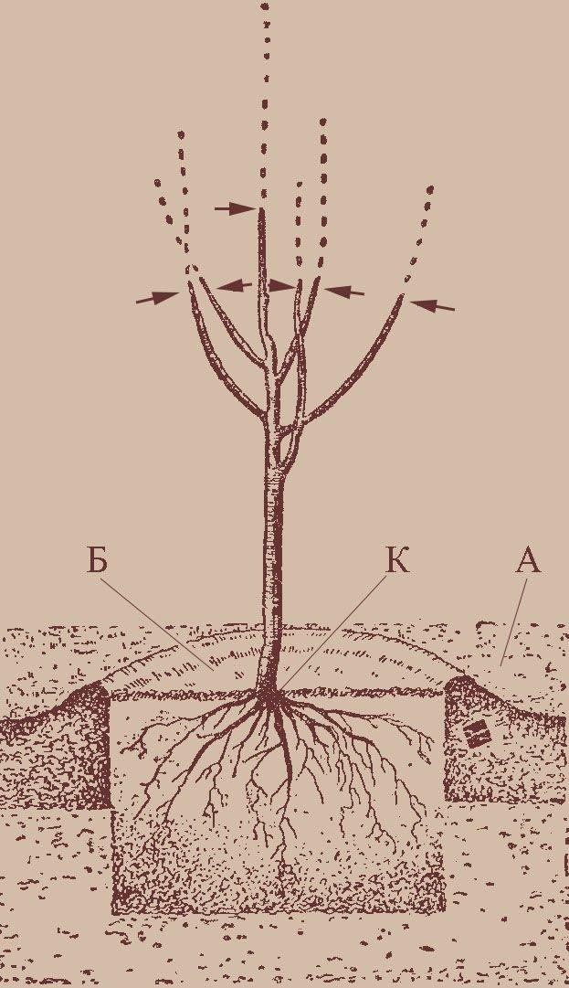 Нектарины вырастить в подмосковье. сорта персика, растущие в подмосковье