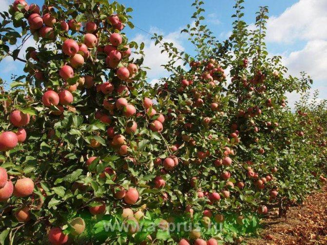 Яблоня фуджи: описание сорта и правила ухода, видео и фото