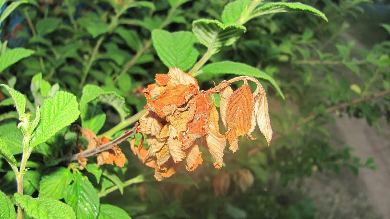У черешни скручиваются листья — основные причины и советы как вылечить болезни черешни (100 фото)