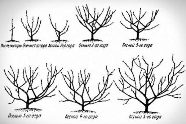 Как обрезать абрикос и сформировать крону: уход за деревом