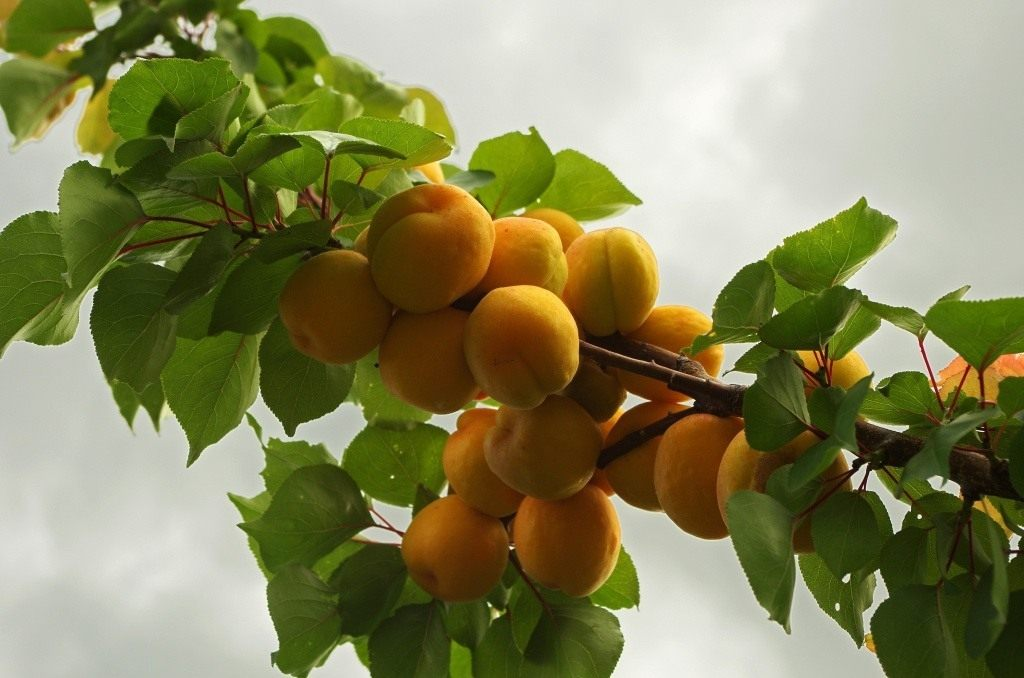 Сорт персика для подмосковья: лучшие самоплодные, морозоустойчивые, зимостойкие - понтийский, майра, гринсборо, можно ли высадить дерево из косточки
