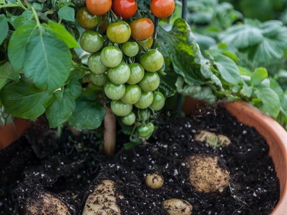 Помидор и картофель: как получить гибрид помидофель | огородники