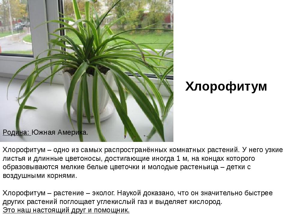 Хлорофитум (60 фото): уход за комнатным цветком в домашних условиях. как выглядит растение? возможные болезни